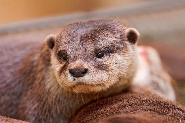 die Otter
