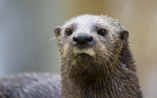 Otter facing the camera