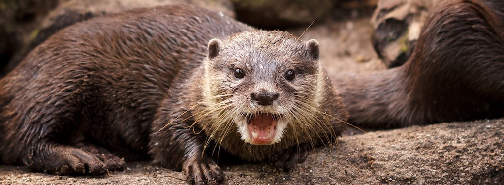 An otter looking surprised