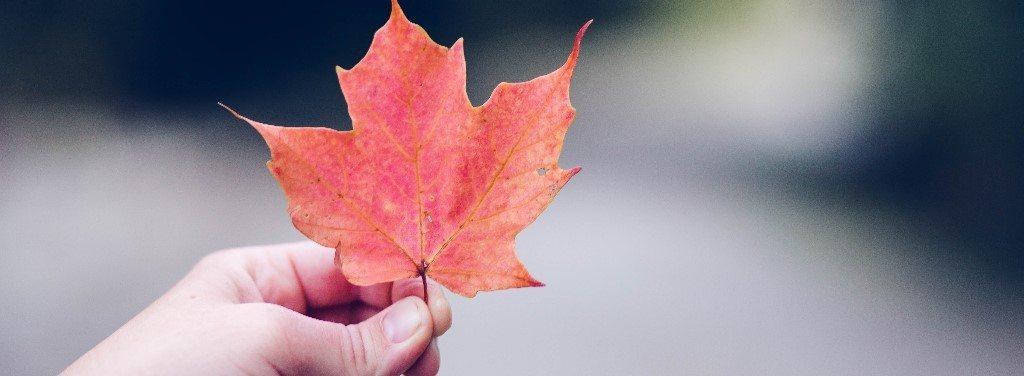 Foglia d'acero canadese in autunno