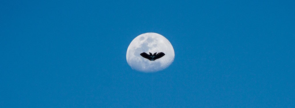Bat flying in front of the moon