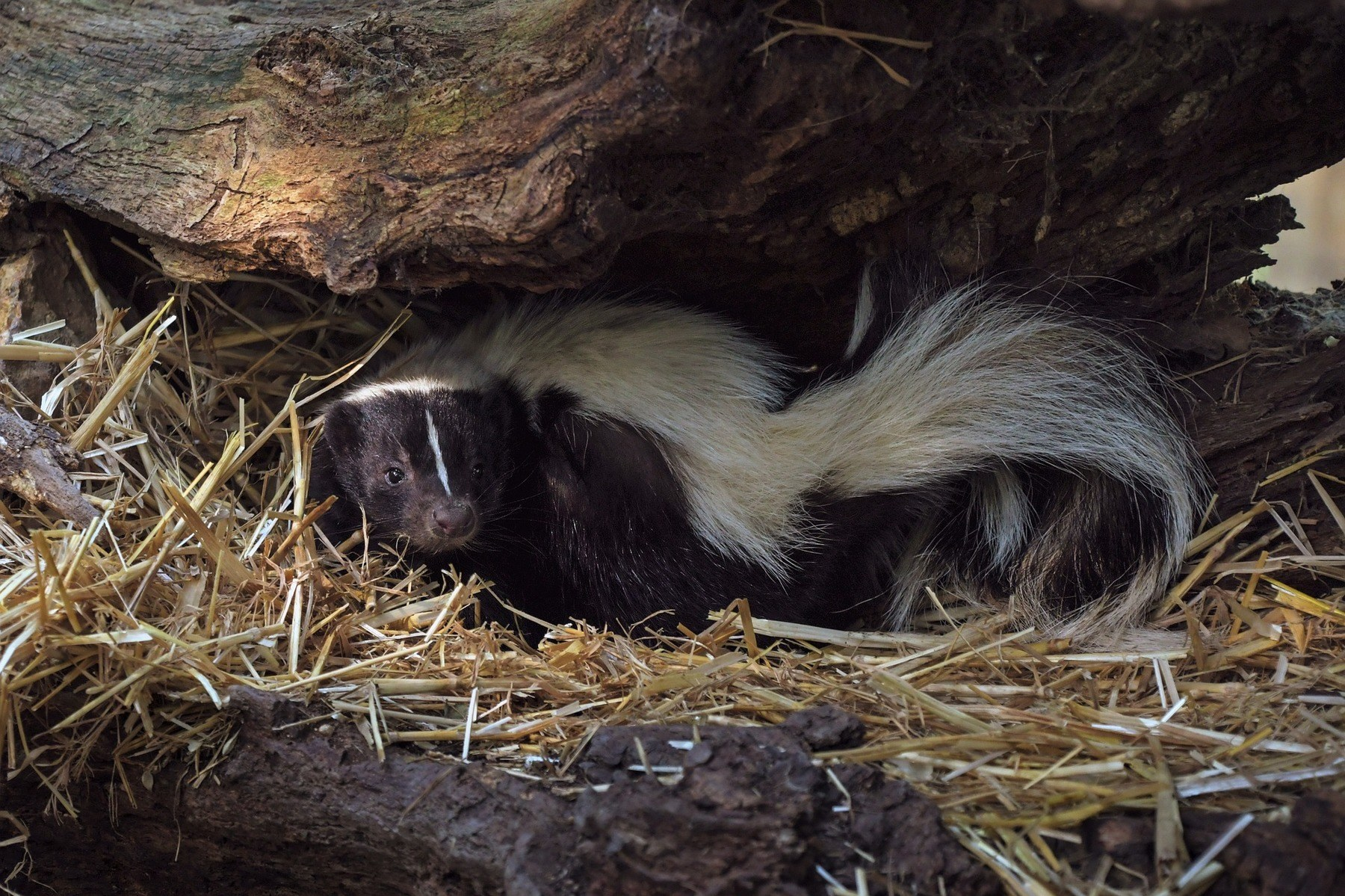 Skunk in a cave