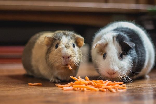 guinea pigs eating vegetables