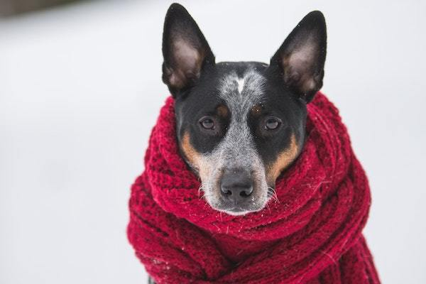 dog in large scarf